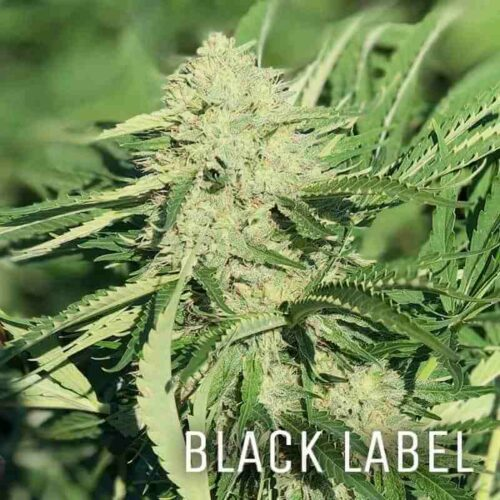 MS Black Label Smokeable CBG Flower